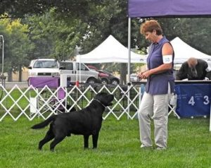 Competing in the breed ring